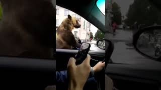 Bear in Russian traffic