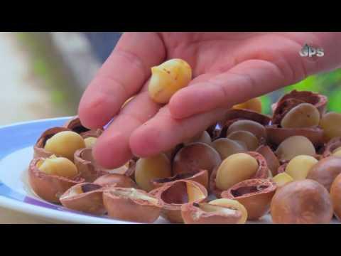 Así se cultivan las nueces de macadamia