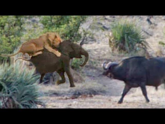 قطيع من الثيران ينقذون صغير فيل من قبضة عدد من الأسود