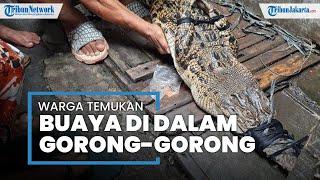 Dikira Biawak, Seekor Buaya Muncul dari Gorong-gorong Permukiman Duri Selatan, Jakarta Barat