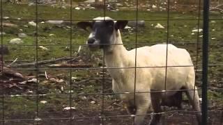 Луда Овца  - Няма такъв смях!!!