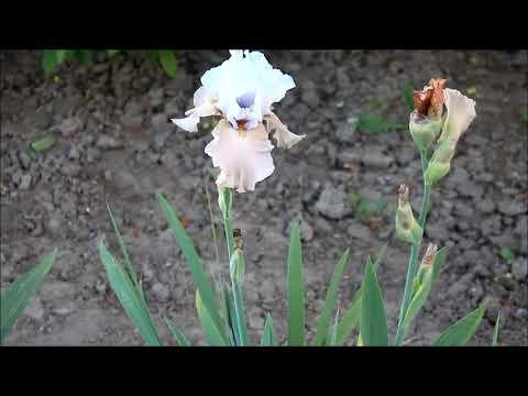Цветение ирисов и обзор сортов. Нашествие ирисовой мухи и как с ней бороться
