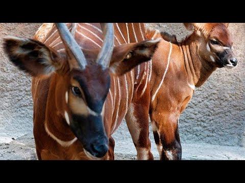 Le bongo des montagnes, symbole kényan protégé Le bongo des montagnes, symbole kényan protégé