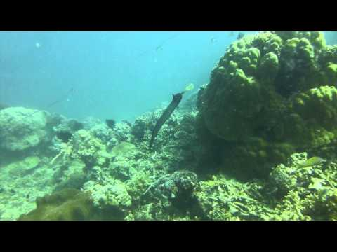 Trumpetfish in Philippines