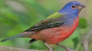 Painted Bunting Chirping, Bird Song, Bird Sound, Bird Chirping, Bird Calling, Bird Voice, Bird Call