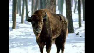 Polish European bisons ...Polskie żubry