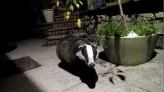 Sweet Tame Badger.MOV