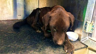 Rescue Abused Dog from starvation and heat exhaustion Left outside in a hot summer