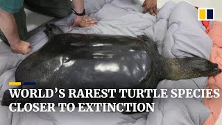 Yangtze turtle on brink of extinction with death of last known female