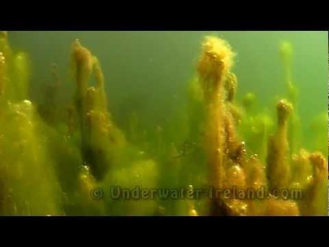 Algen, Irland allgemein,Irland