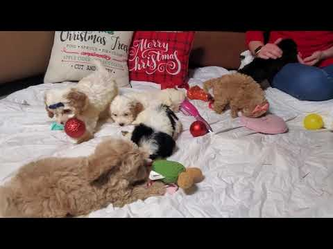 Cockapoos playing with christmas balls
