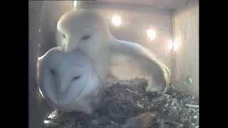 Barn Owls Mating