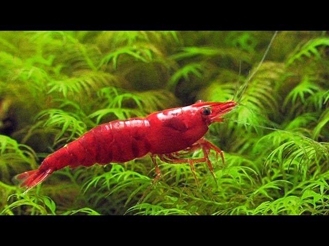Nano Cube 20 aquascape feat. Sakura red shrimp (Neocaridina davidi)