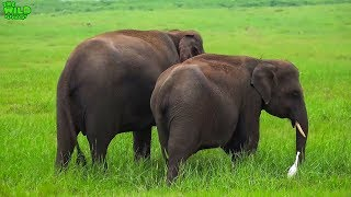 A Beautiful Elephant Herd Spotted in Minneria