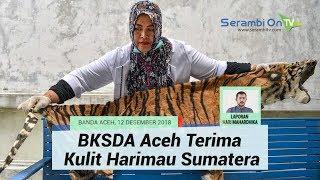 BKSDA Aceh Terima Kulit Harimau Sumatra Hasil Perburuan Kawasan Gunung Lauser