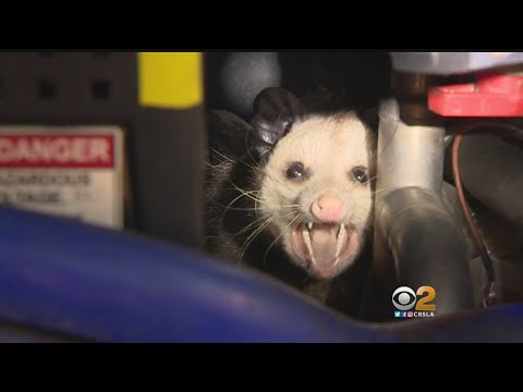 Goldstein Investigation: Possum Living In $1 Million, Taxpayer-Funded Bus