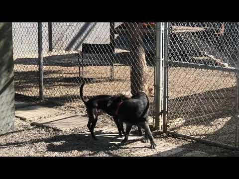 Blackie, an adoptable Labrador Retriever & Retriever Mix in Pasadena, CA
