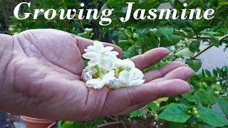 Growing  Jasmine - How To Grow Jasmine Plants In Containers