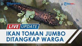 Penampakan Ikan Toman Sepanjang 1 Meter di Sungailiat, Tak Sengaja Tertangkap dan Beratnya 9 Kg