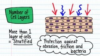 Classification of Epithelia - Drawn & Defined