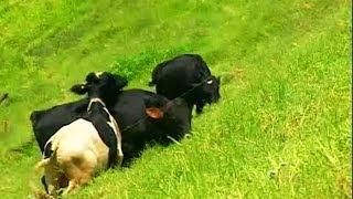 Dairy Farm at Munnar