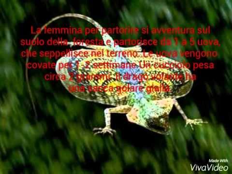 Il drago volante ( Draco volans)
