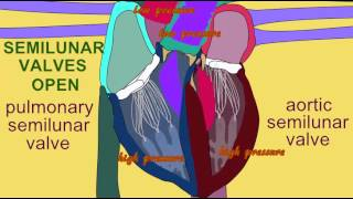 SEMILUNAR VALVES IN CARDIAC CYCLE