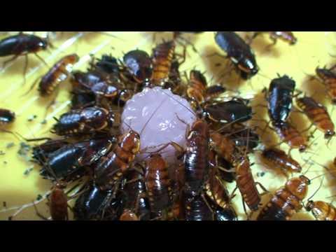 Hogyan következik be a paraziták halála