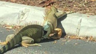 Iguanas Show Off Epic Wrestling Skills in Florida Starbucks Parking Lot