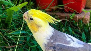 How To Tame Your Cockatiel