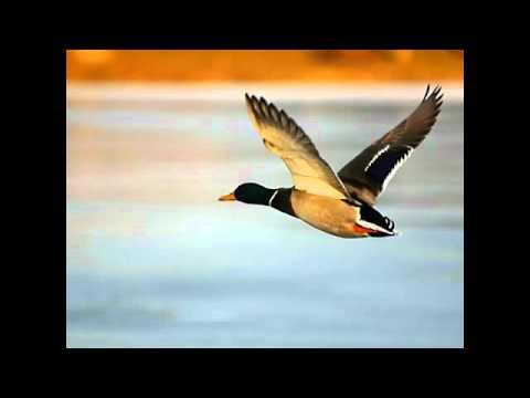 Les oiseaux de passage - Maxime Le Forestier