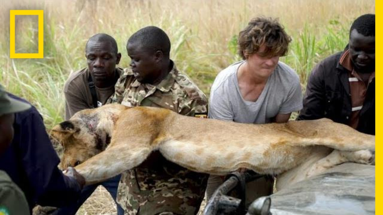 Lion Falls From Tree During Rescue From a Wire Snare Injury | National Geographic thumbnail