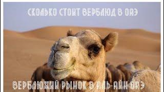 VLOG: Дубай/ОАЭ - Рынок верблюдов в Аль-Айне/ Сколько стоит верблюд