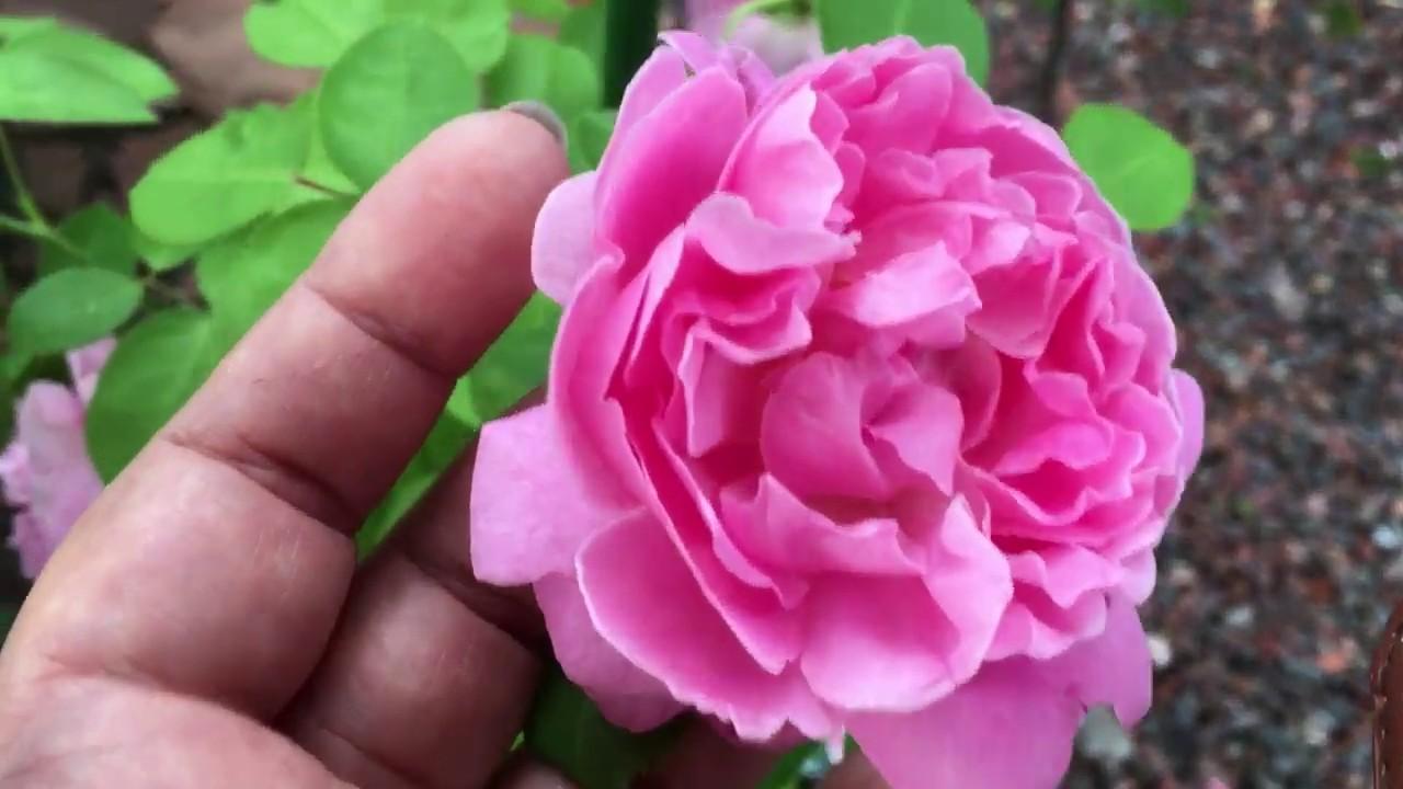 Роза Мэри Роуз. Английская роза. Новинка в моем саду!