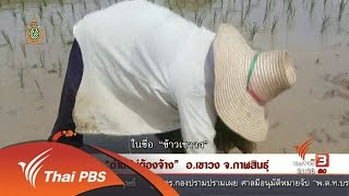 """ที่นี่ Thai PBS - นักข่าวพลเมือง : """"ดำนาไม่ต้องจ้าง"""" อ.เขาวง จ.กาฬสินธุ์"""