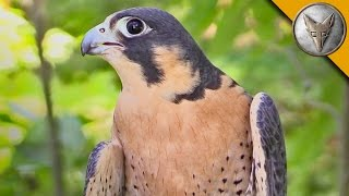 Peregrine Falcon is the Fastest Animal in the World!