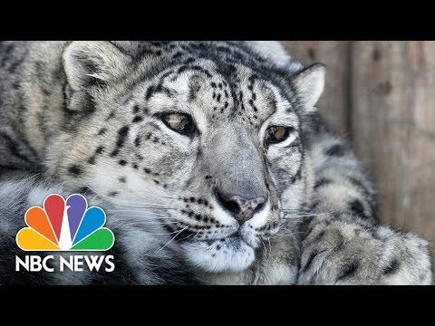 Scientists Discover New Way To Research Snow Leopard | NBC News
