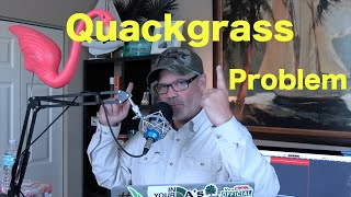 How to Get Rid of Quackgrass   Ways to control Quackgrass in the Lawn