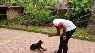 Training the tough Rottweiler puppy at 3 months age.
