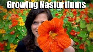 Growing Nasturtiums - An Edible, Easy-to-Grow Cool Season Flower 🌺