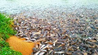 Medicated Feeds For Hybrid Magur Fish Farming Business in India