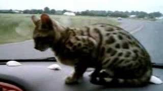 Bengal Cat Iris Riding In Car