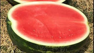 That Watermelon Guy