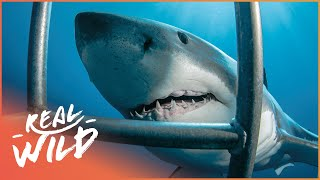 White Sharks Outside The Cage [Shark Documentary] | Wild Things