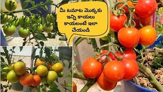 How To Growing Tomatoes | టమాటాలు గుత్తులుగా కాయలంటే ఇలా చేయండి