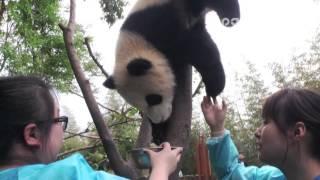 Panda cub's milk time