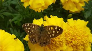 Gorgeous brown Butterfly on yellow marigolds!
