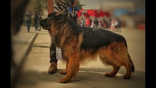 Poland Imported German Shepherd Wins The Dog Show 2018 Nepal