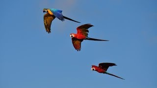 Free fly of Belgium free flight parrots macaws (RIP Rambo shot down by a hunter)