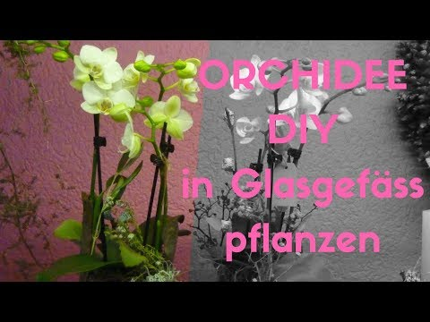 Orchideenzauber im Glas - Winterlich ausgarnierte Phalaenopsispflanze